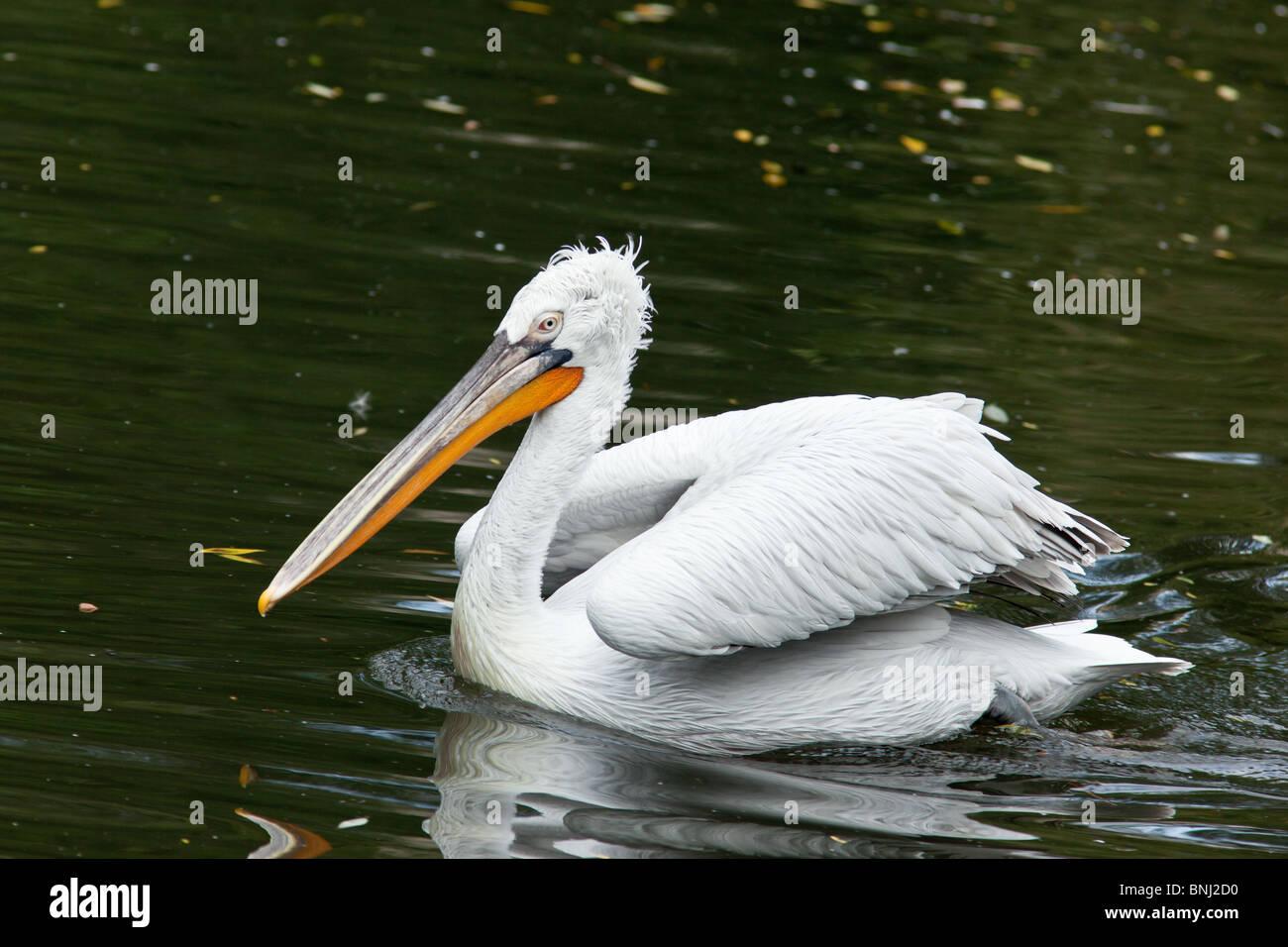 Dalmatian pelican, Pelecanus crispus. The bird is in a zoo. - Stock Image
