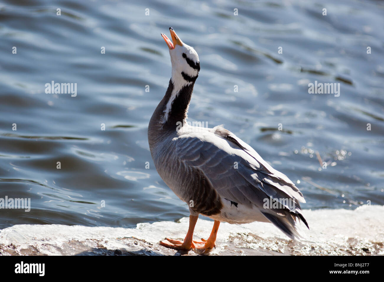 Bar-headed Goose, Eulabeia indica, Anser indicus. The animal is in a zoo. - Stock Image
