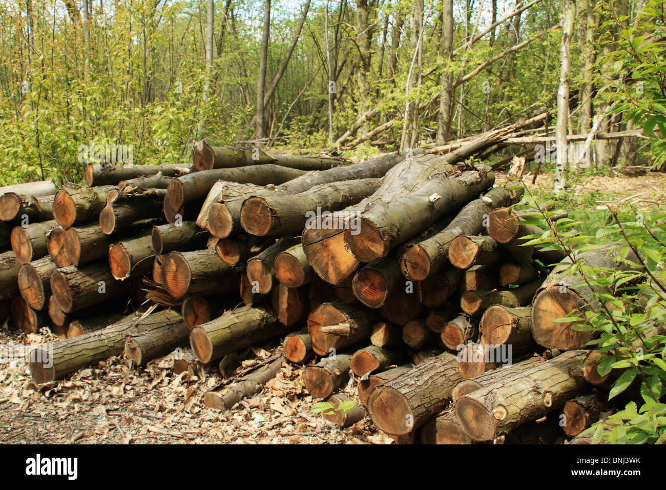 Timber pile, Norsey Wood, Essex UK - Stock Image