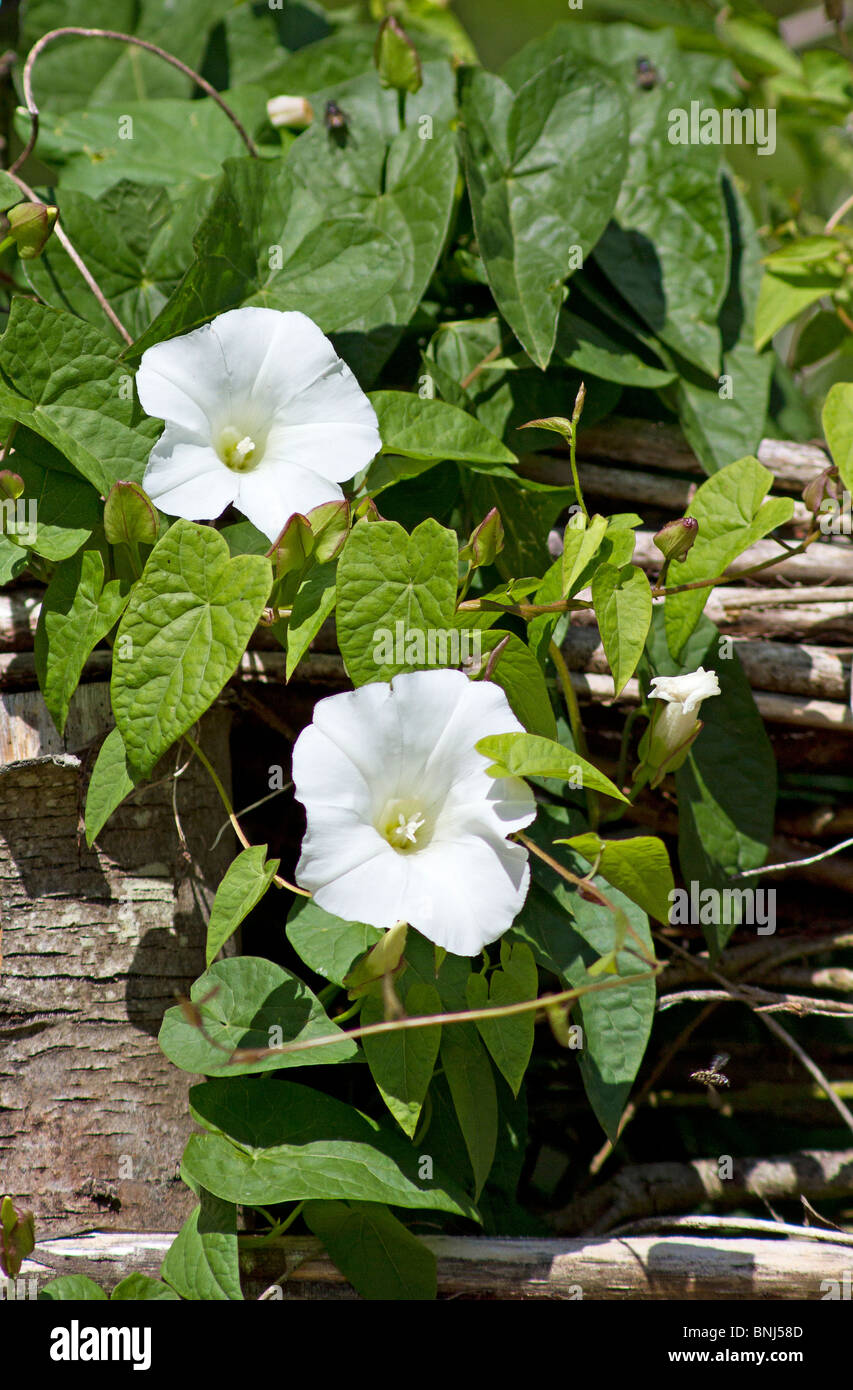 Hedge Bindweed growing up willow fence - Stock Image