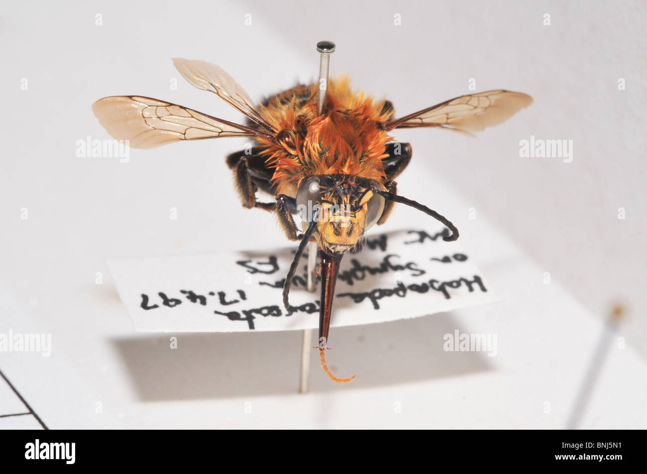 Wild Bee collection of different species - Stock Image