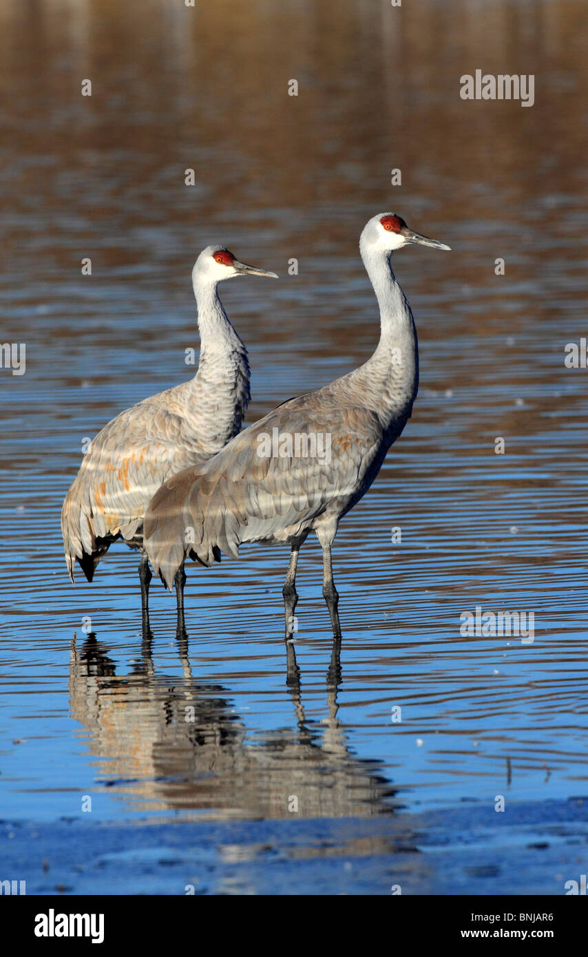 It Was Twilight And Sandhill Cranes >> Foraging Sandhill Cranes Stock Photos Foraging Sandhill Cranes