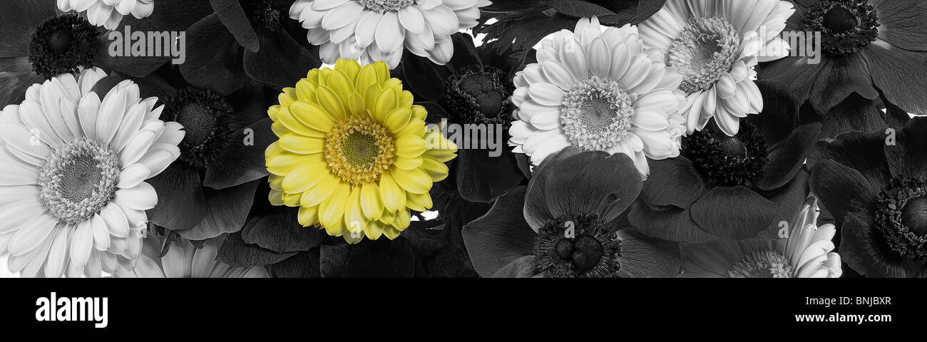 Anemone Arrange Arrangements Bloom Blooms Blossom Blossoms Colour Colourful Concept Flower Flowers Gerbera Panorama - Stock Image