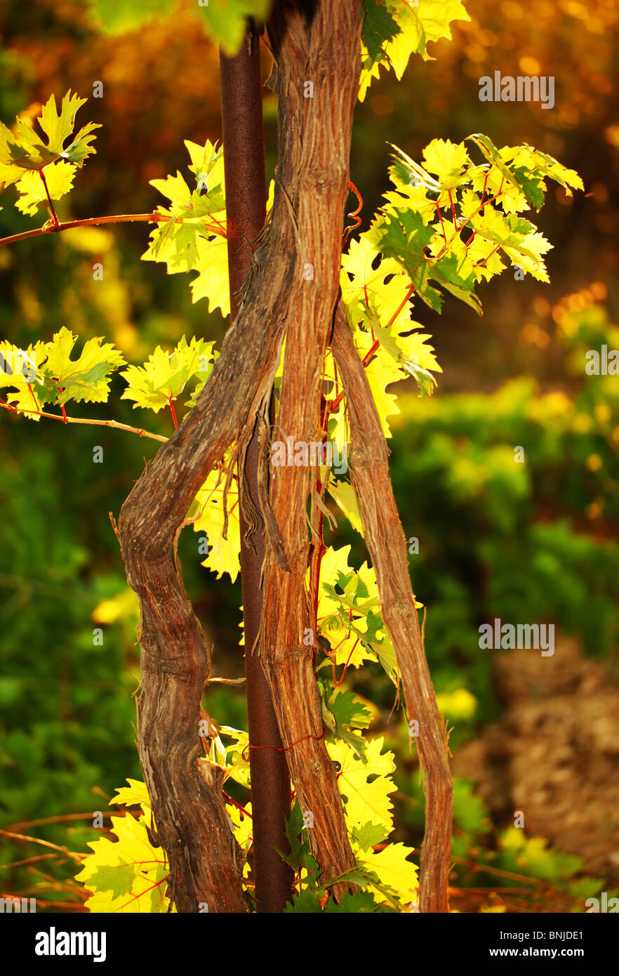 Grapevine in a garden on summer warm day Stock Photo