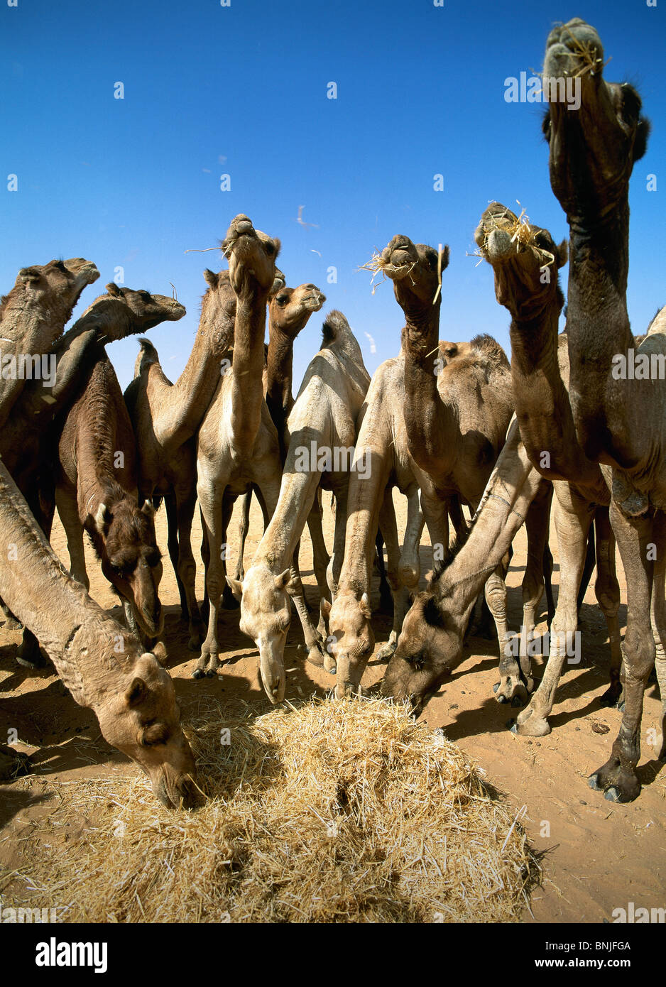 Egypt March 2007 Cairo city Camel market camels animals feeding food straw hay - Stock Image