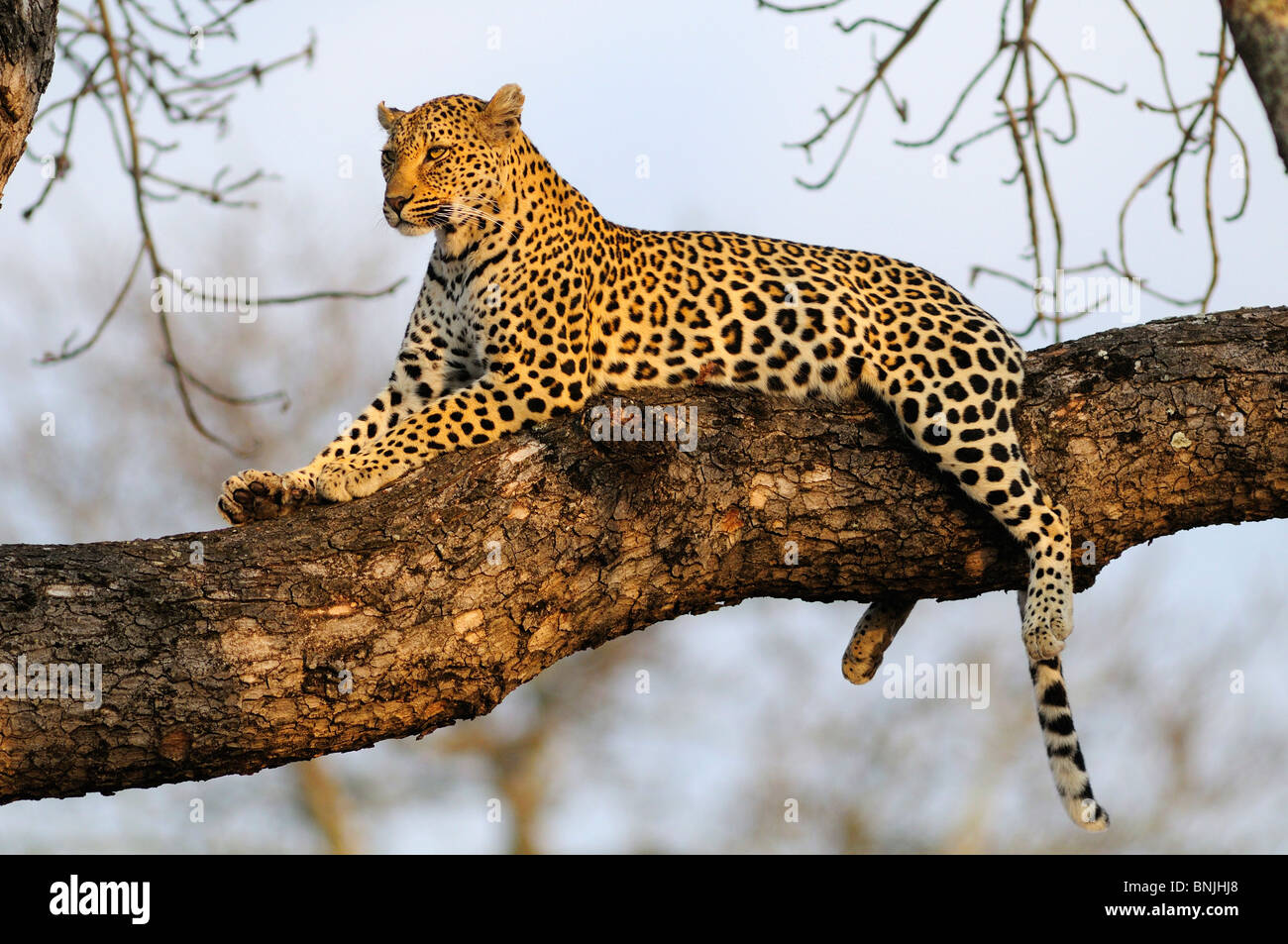 Leopard Panthera pardus Ulusaba Sir Richard Branson's Private Game Reserve Sabi Sands Game Reserve Mpumalanga South Stock Photo