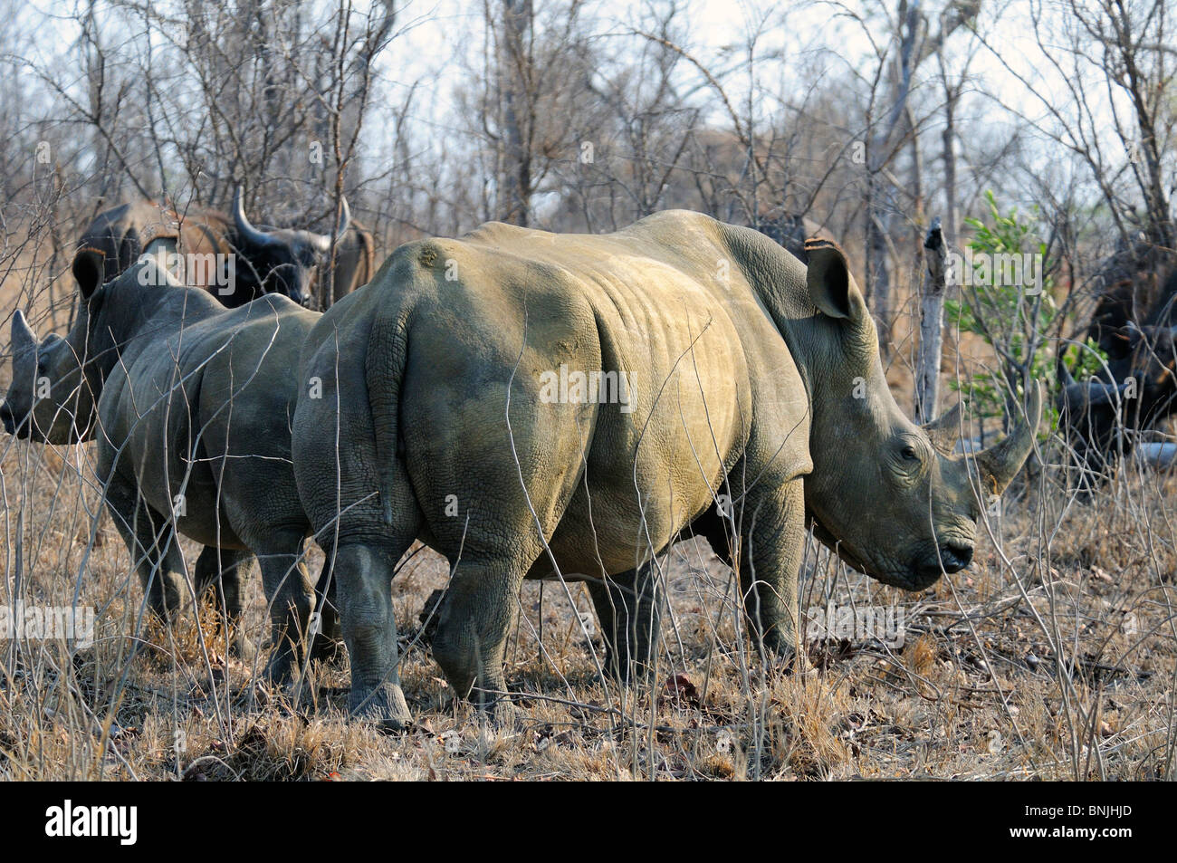 White Rhinoceros Ceratotherium simum Ulusaba Sir Richard Branson's Private Game Reserve Sabi Sands Game Reserve - Stock Image