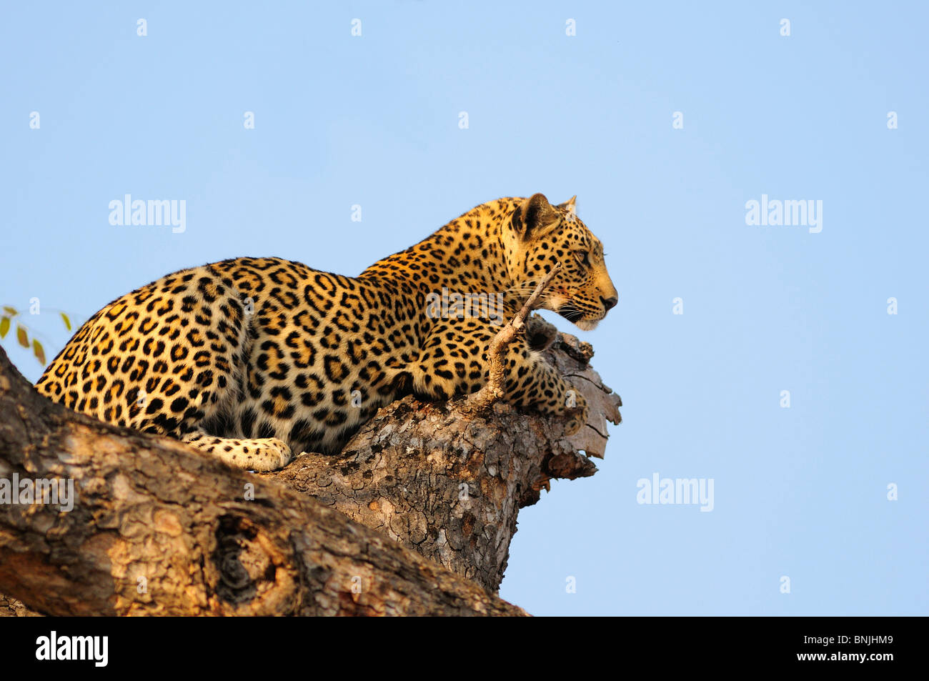 Leopard Panthera pardus Ulusaba Sir Richard Branson's Private Game Reserve Sabi Sands Game Reserve Mpumalanga - Stock Image