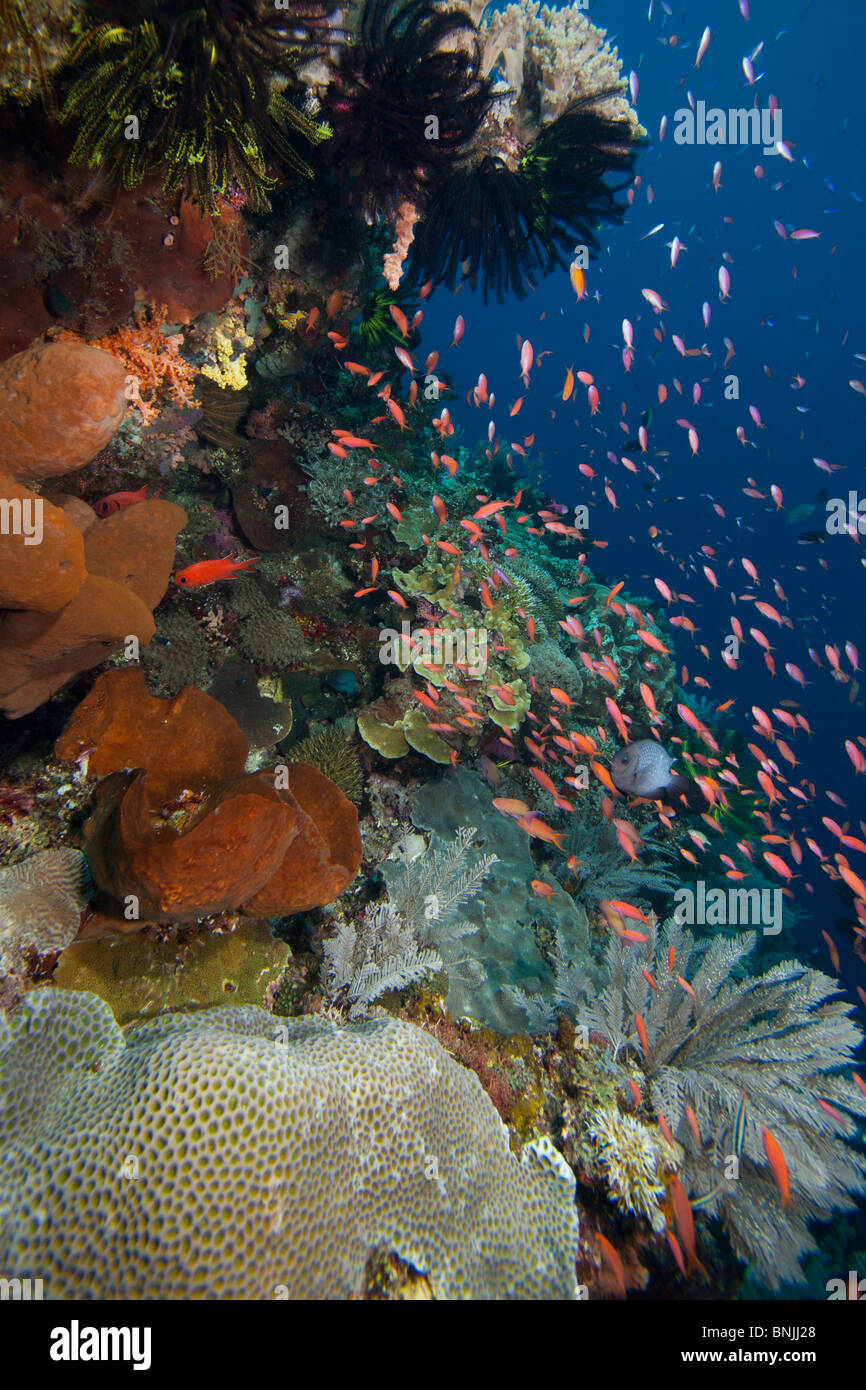 Anthias (Pseudanthias sp.) on a tropical coral reef off Bunaken Island in North Sulawesi, Indonesia. - Stock Image