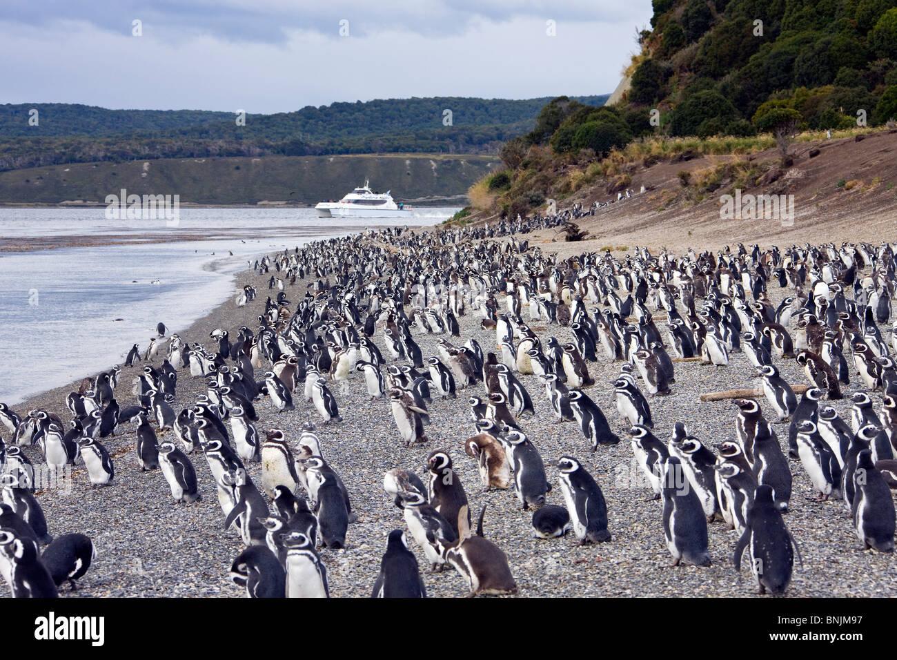 Argentina Südamerika Amerika March 2009 Tierra del Fuego Magellanic Penguin Spheniscus magellanicus penguins at Stock Photo