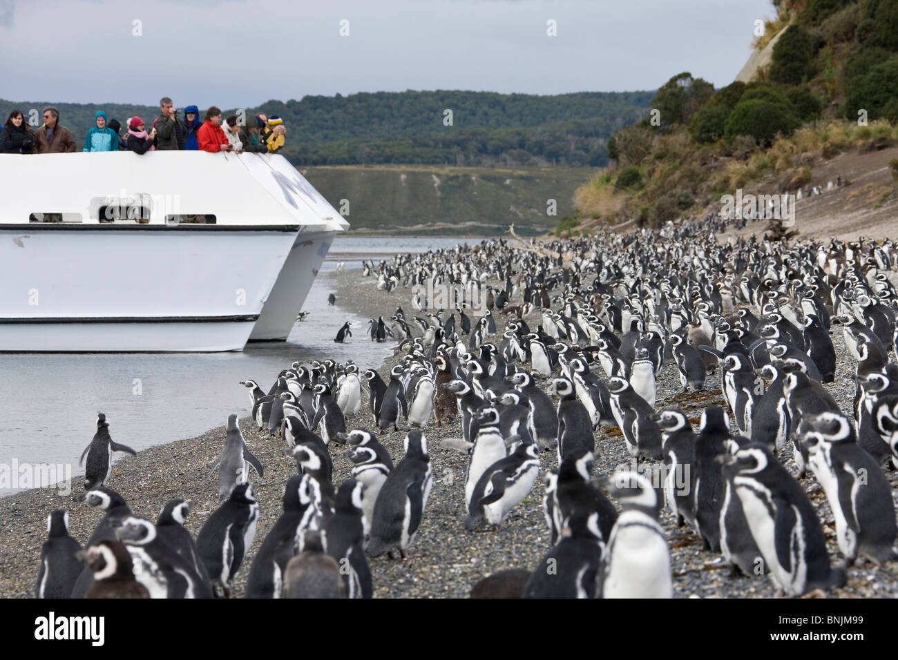 Argentina Südamerika Amerika March 2009 Tierra del Fuego Magellanic Penguin Spheniscus magellanicus penguins - Stock Image