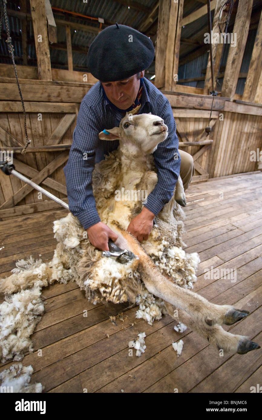 Chile South America March 2009 Chilean Patagonia Estancia Cerro Negro Gaucho gauchos man sheep shearing clipping - Stock Image