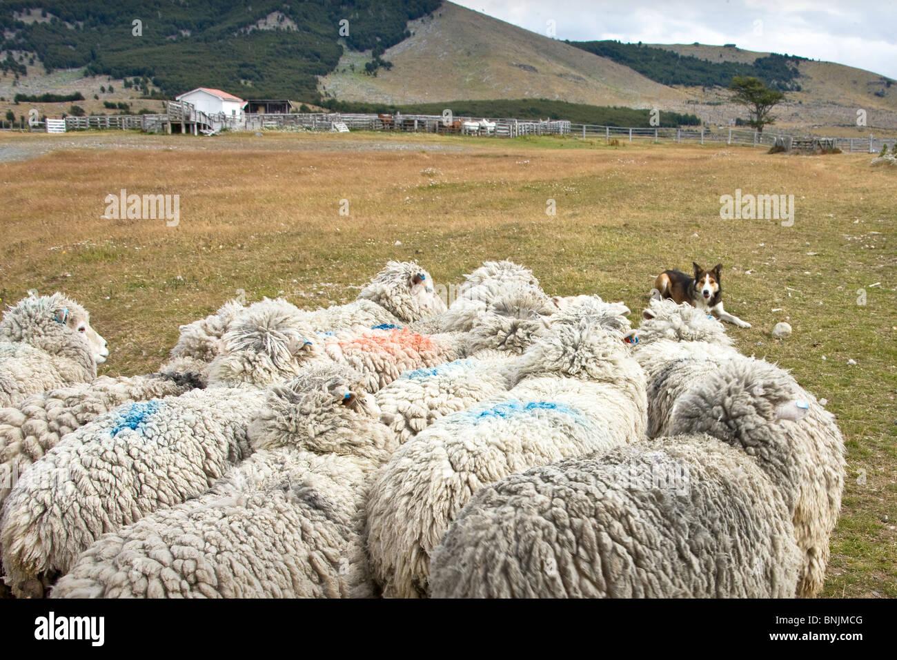 Chile South America March 2009 Chilean Patagonia Estancia Cerro Negro animals agriculture farming wool shepherd - Stock Image