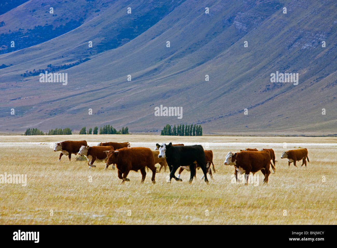 Chile South America March 2009 Chilean Patagonia cows cattle grassland mountains mountain landscape scenery agriculture - Stock Image