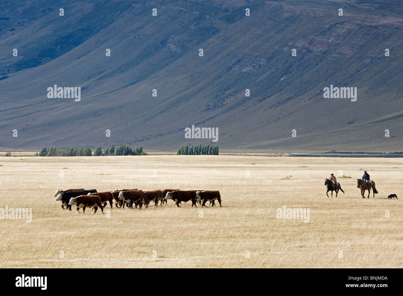Chile South America March 2009 Chilean Patagonia cows cattle grassland mountains mountain landscape scenery agriculture Stock Photo
