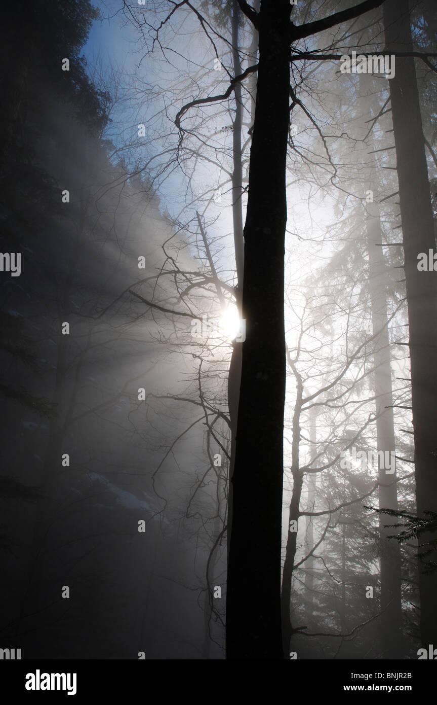 Tree trees silhouette back light sun sun ray Jura Switzerland fog mist misty winter season nature - Stock Image