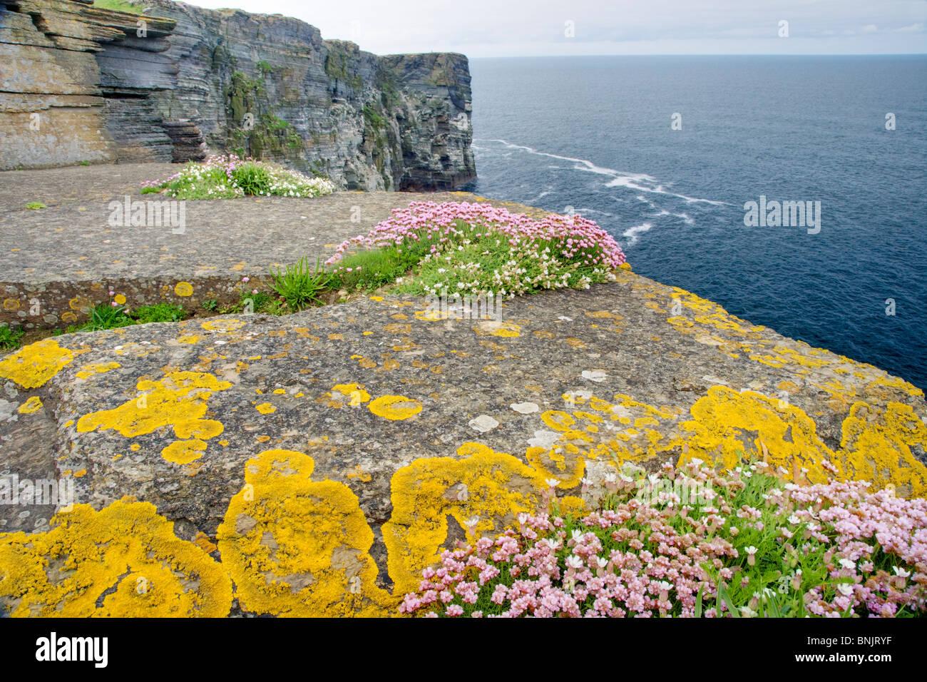 Thrift covered cliffs Armeria maritima Marwick Head RSPB reserve Mainland Orkney LA005227 Stock Photo