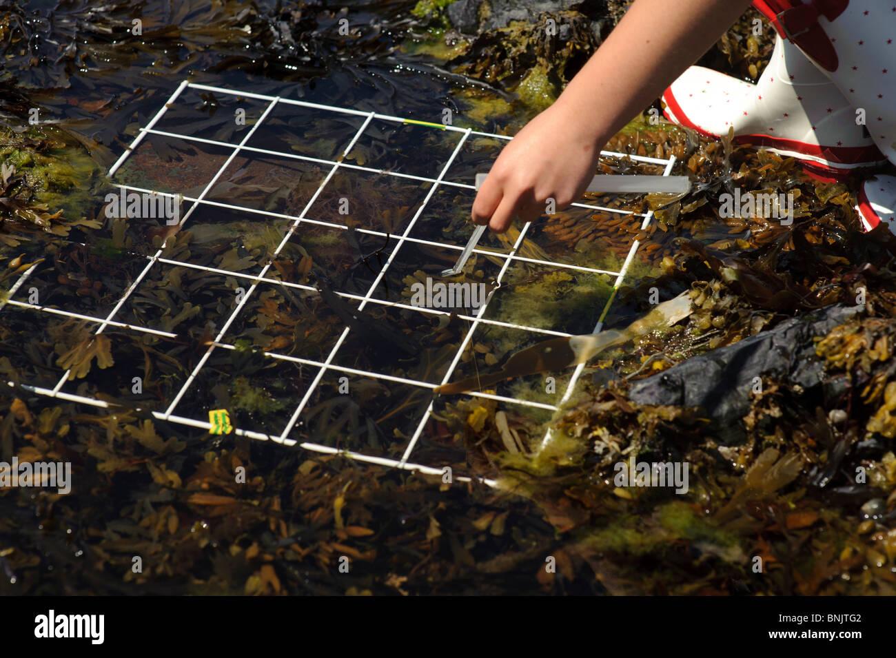 International Baccalaureate student using grid studying marine biology on rocks UK - Stock Image