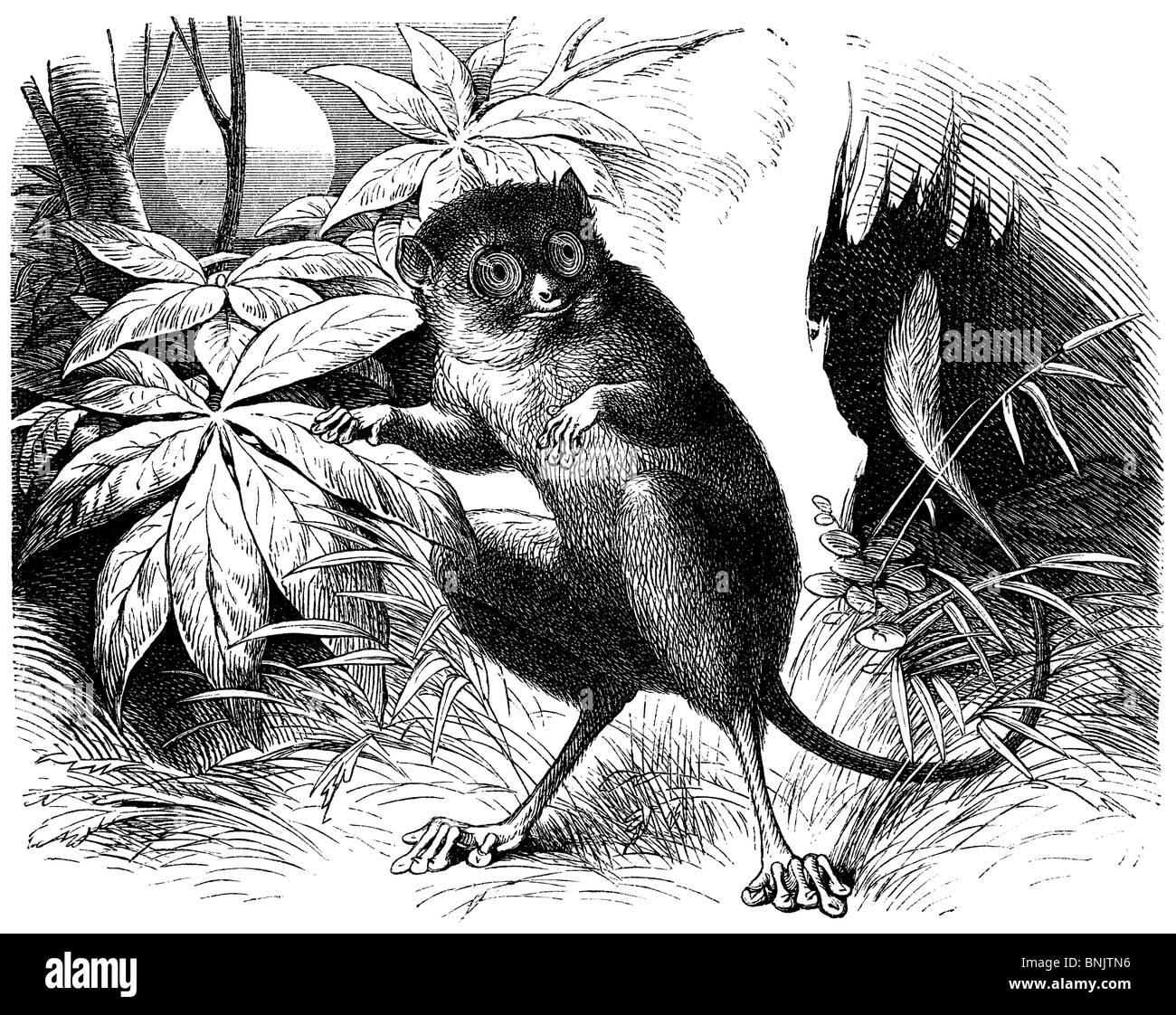 Sulawesi tarsier, Spectral tarsier, Tarsius spectrum - Stock Image