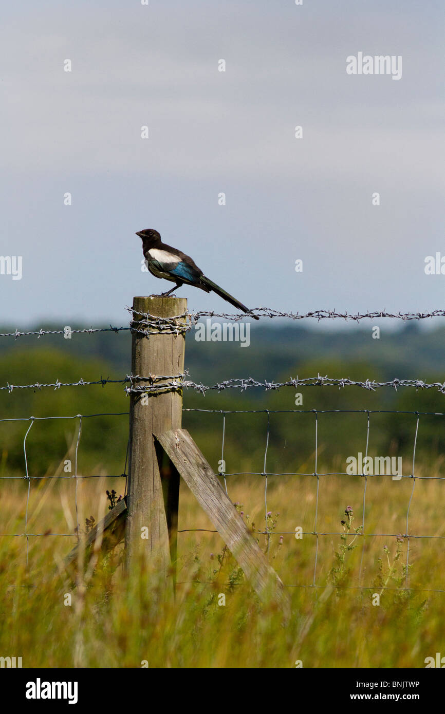 Common Magpie perched on fence post - Stock Image