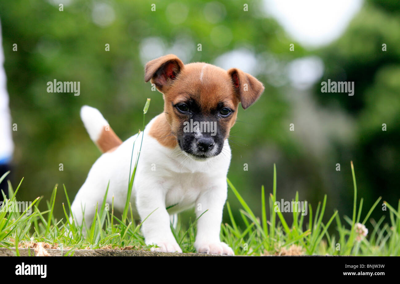 Jack Russell Puppy - Stock Image