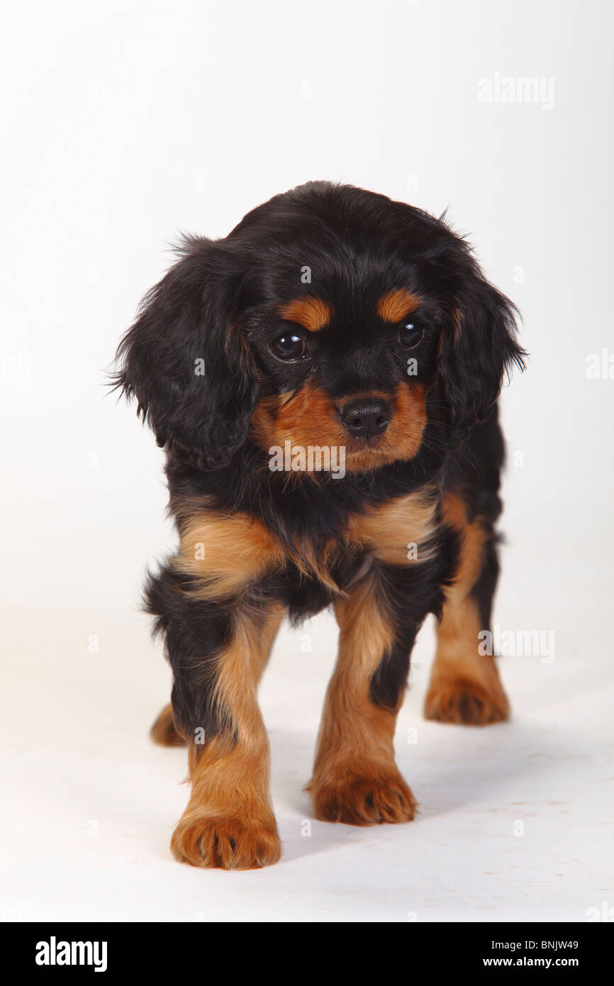 Cavalier King Charles Spaniel Puppies for Sale   PuppySpot