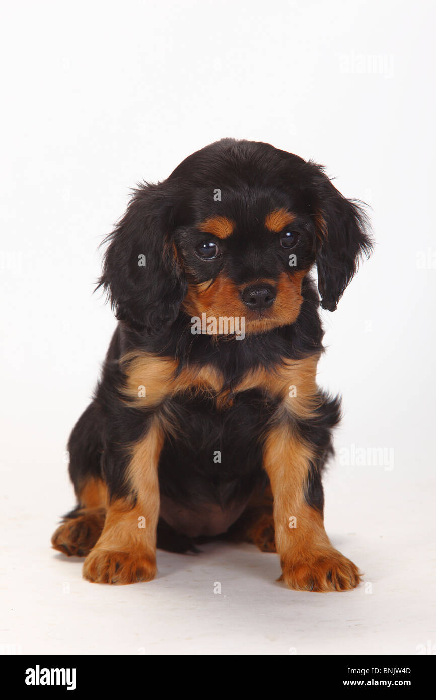 Cavalier King Charles Spaniel, puppy, black-and-tan, 8 weeks - Stock Image