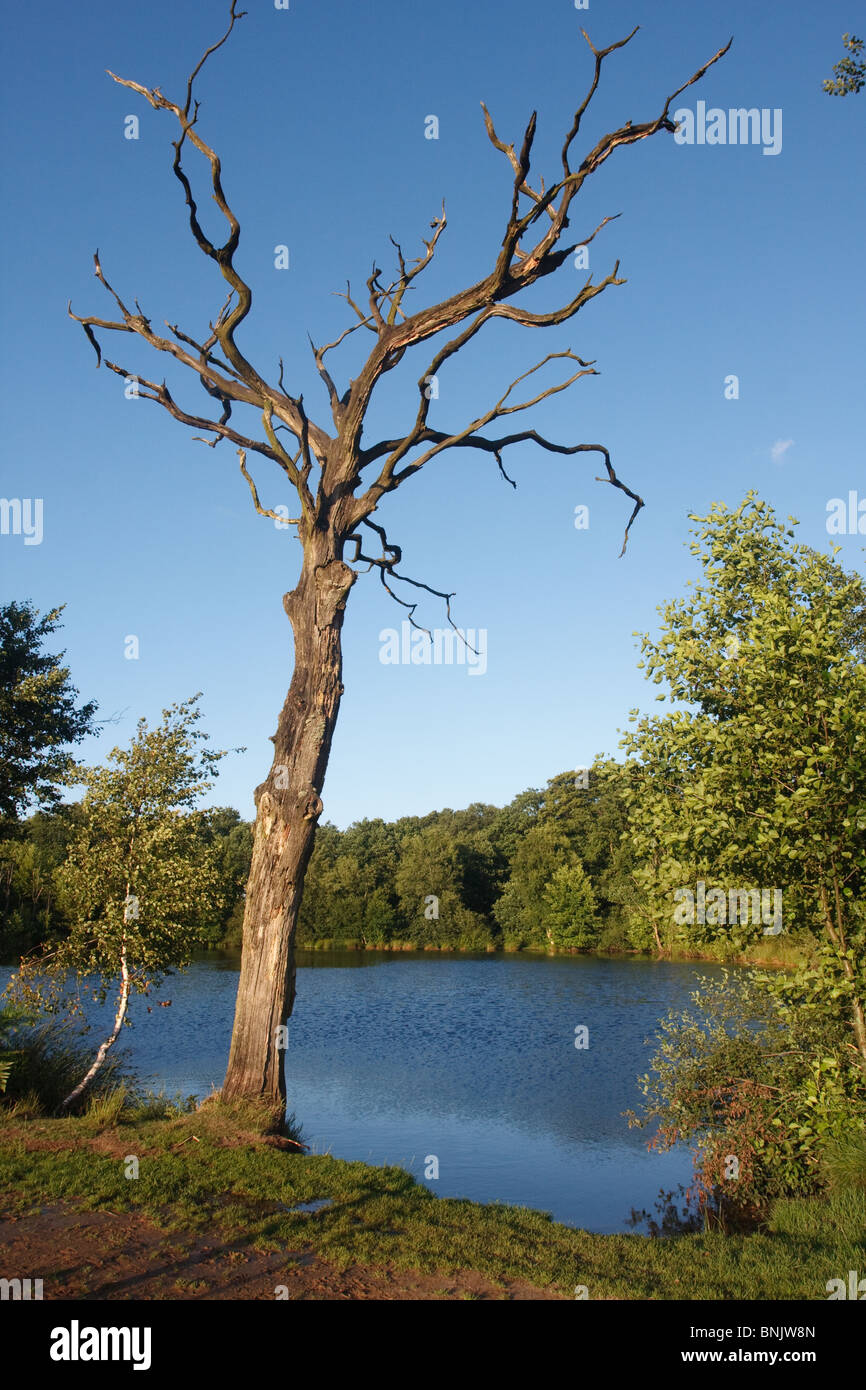 Dead tree against a blue sky near a small lake surrounded by trees Stock Photo