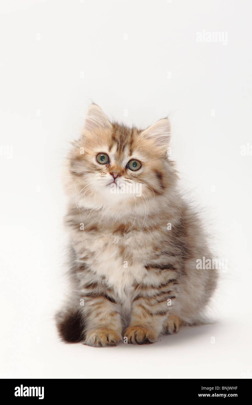 British Longhair Cat, kitten, 10 weeks, black-golden-mackerel / Highlander, Lowlander, Britanica Stock Photo
