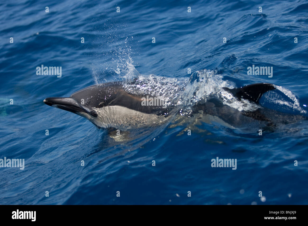 Short-beaked Common Dolphin, Delphinus delphis, Gemeiner Delfin, Pico Azores, Portugal, wild - Stock Image