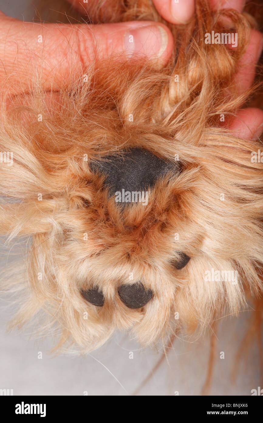 Dog's paw, balls of foot, Cavalier King Charles Spaniel, ruby / hairy -