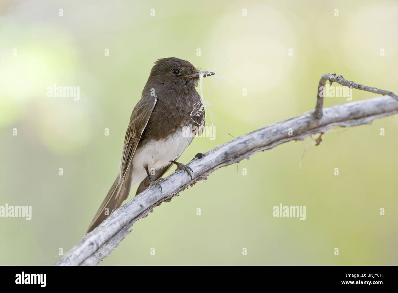 Black Phoebe with Nest Material - Stock Image