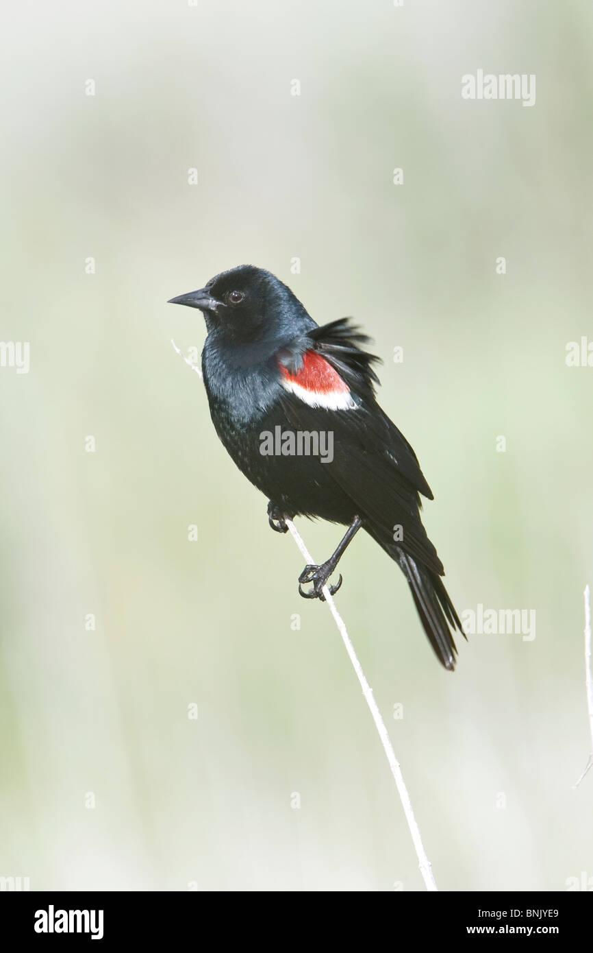 Tricolored Blackbird - Stock Image