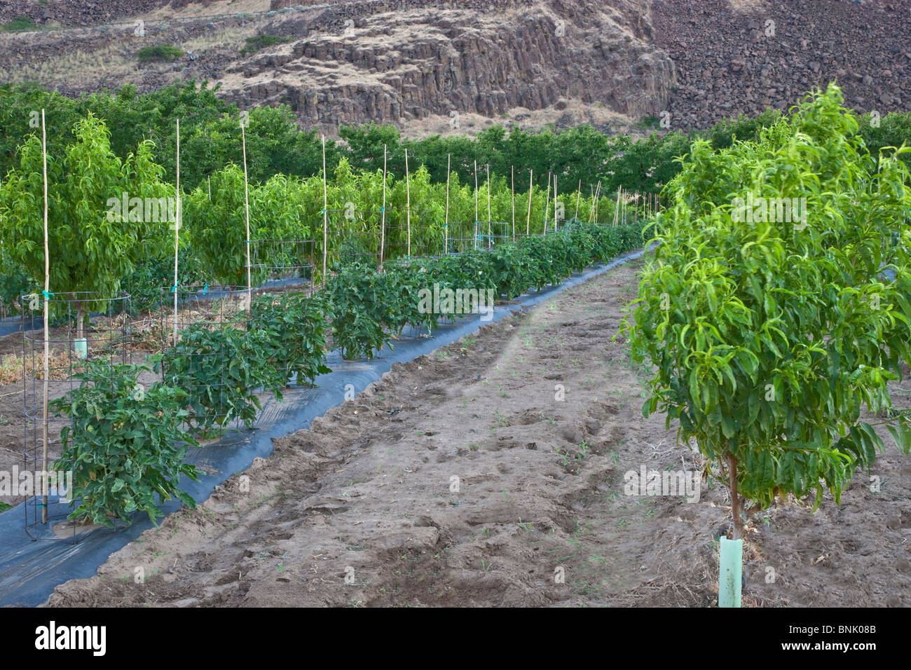 Intercropping, young Nectarine orchard, tomato plants - Stock Image