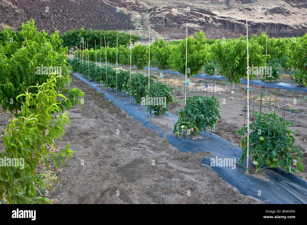 Intercropping, young Nectarine orchard,  tomato plants, - Stock Image