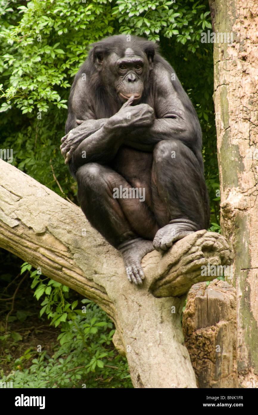 The Thinker. Bonobo or Pygmy Chimp. Cincinnati Zoo, Cincinnati, Ohio USA. - Stock Image