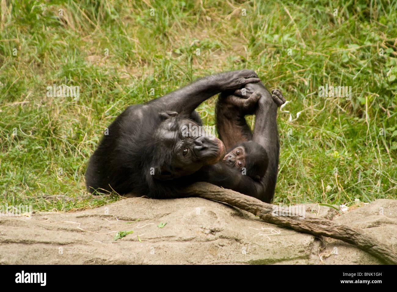 Mother with Baby. Bonobo or Pygmy Chimp. Cincinnati Zoo, Cincinnati, Ohio USA. - Stock Image