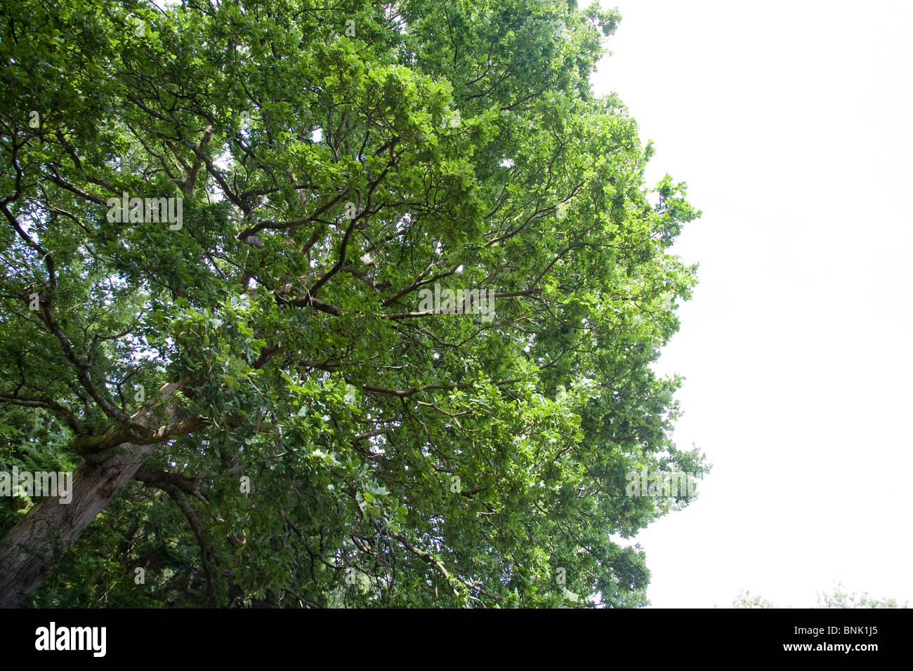 The top of a large Oak tree in the daylight. - Stock Image