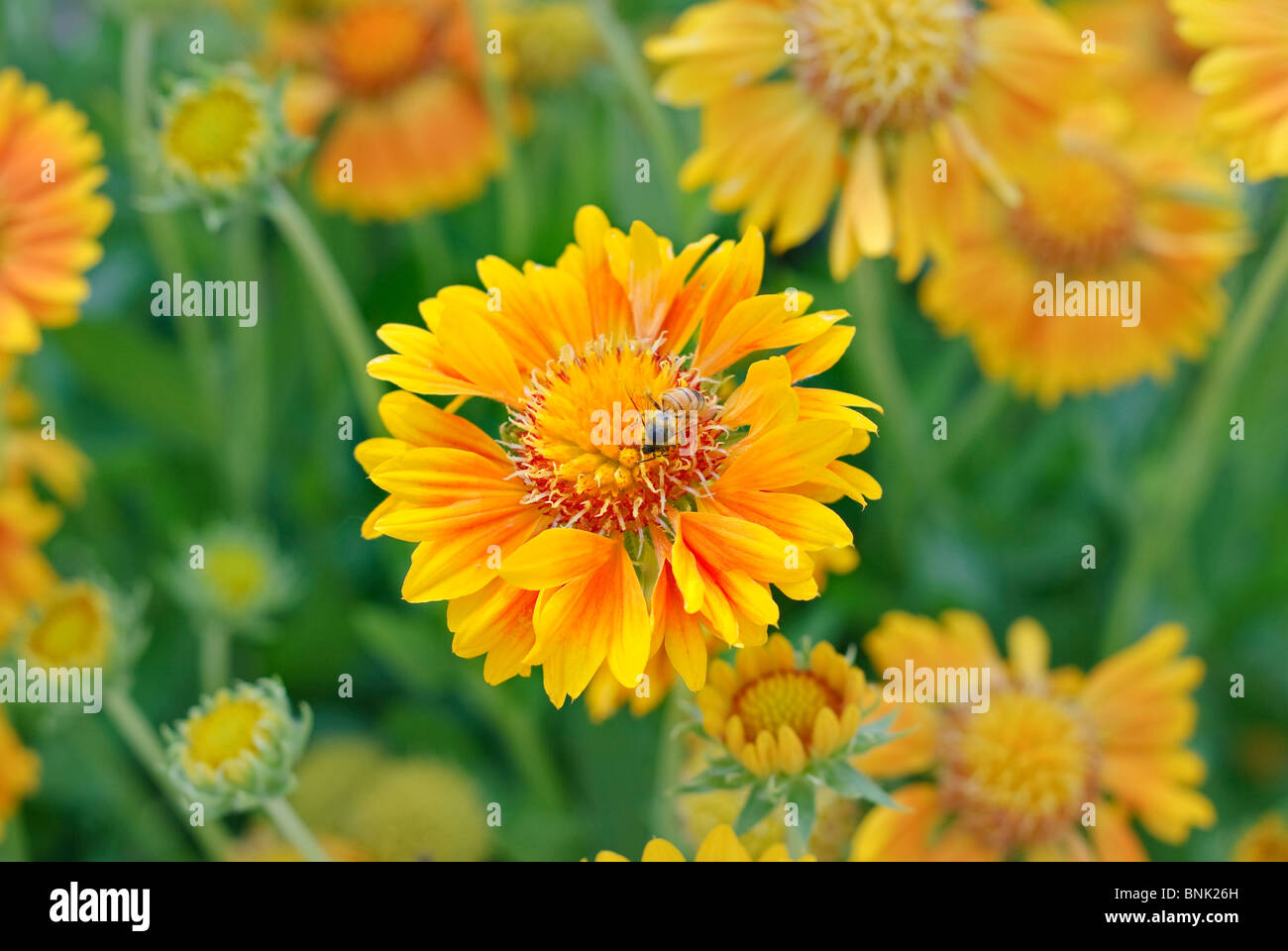 Bright orange flower with a bee feeding and pollinating it. - Stock Image