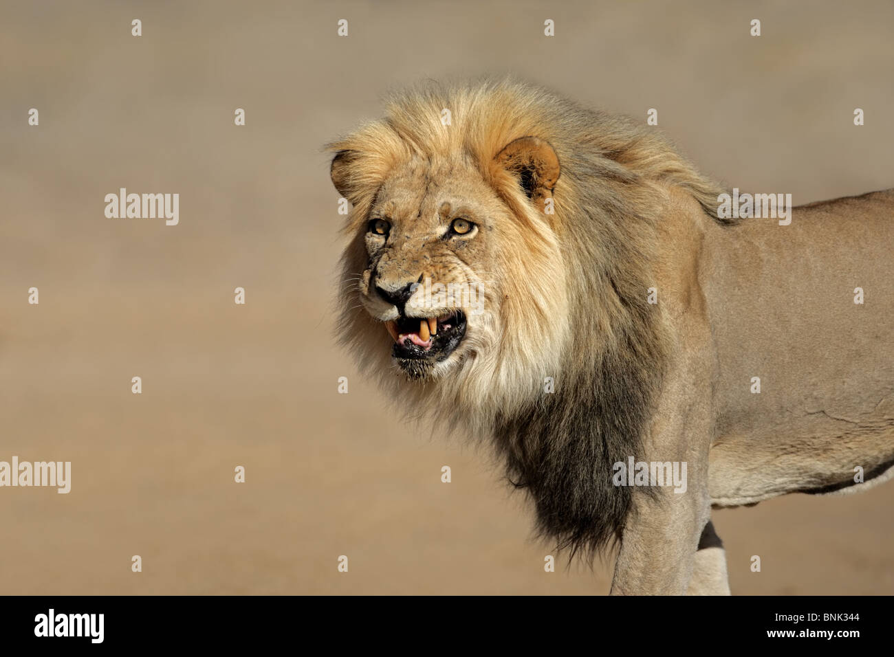 Snarling big male African lion (Panthera leo), Kalahari desert, South Africa - Stock Image