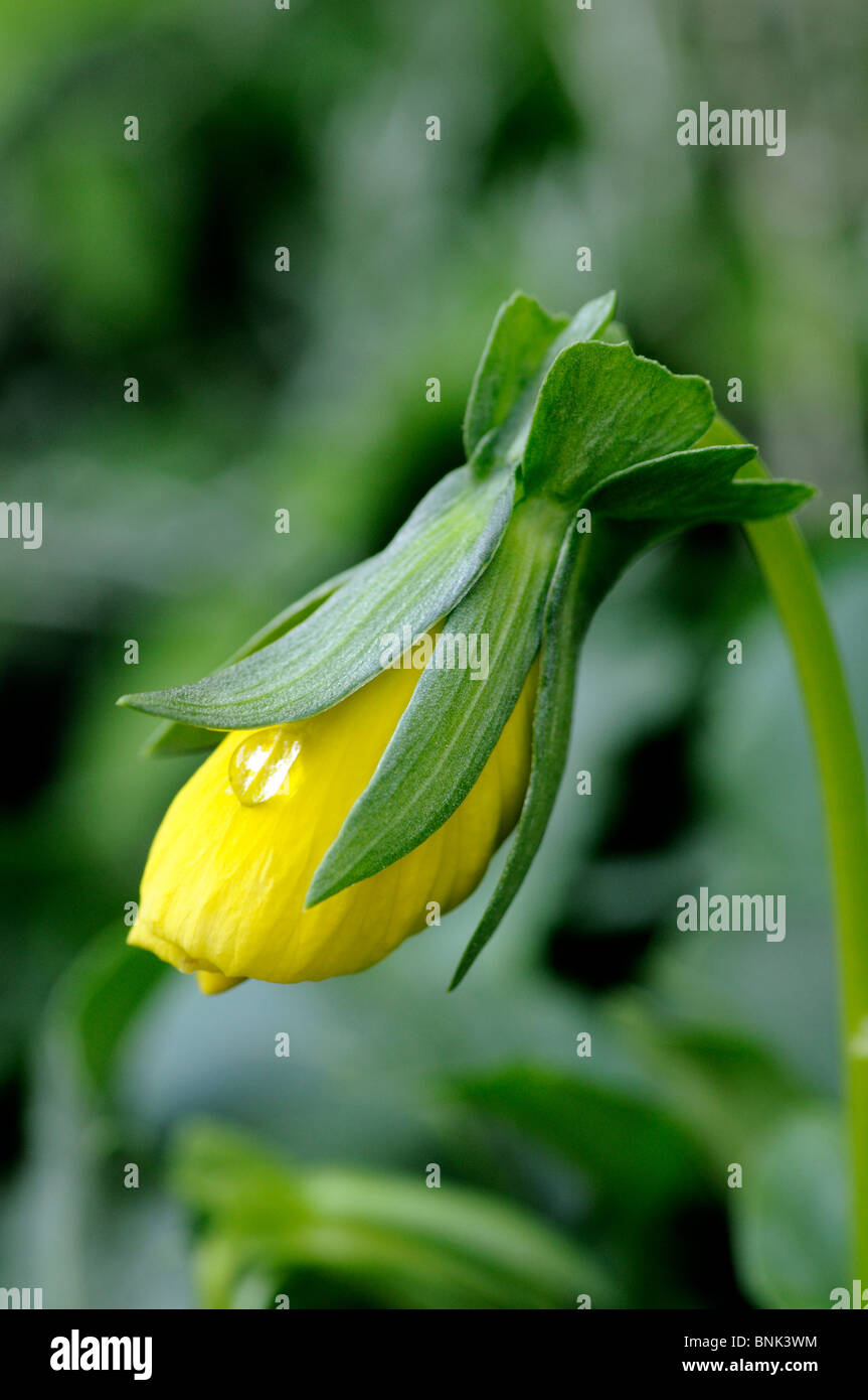 Yellow Winter Pansy - Viola - bud with waterdrop - Stock Image