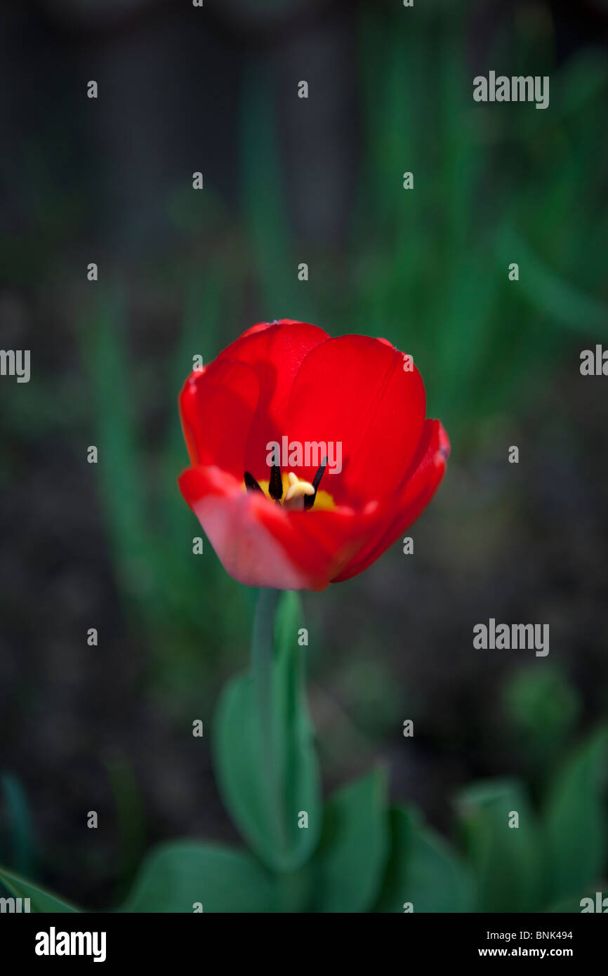 Red tulip with sharp stamens and pistil Stock Photo