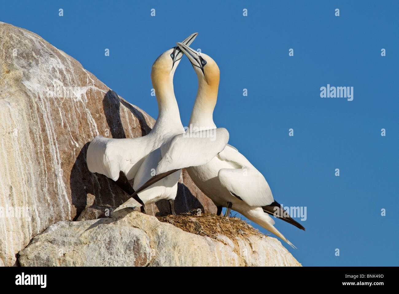 Gannets, courtship display ritual - Stock Image