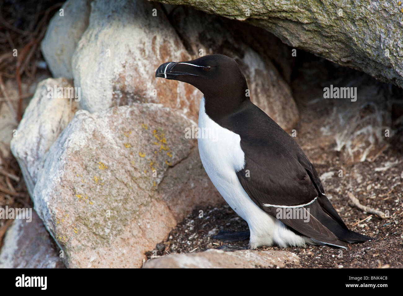 Razorbill, adult at nest - Stock Image