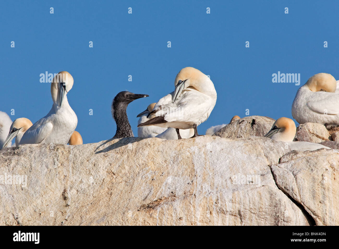 Gannets colony with chick - Stock Image