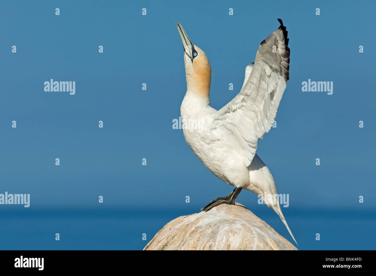 Gannet flapping its wings - Stock Image