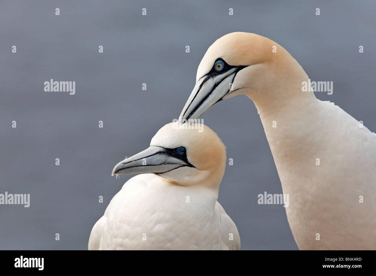 Gannets - Stock Image