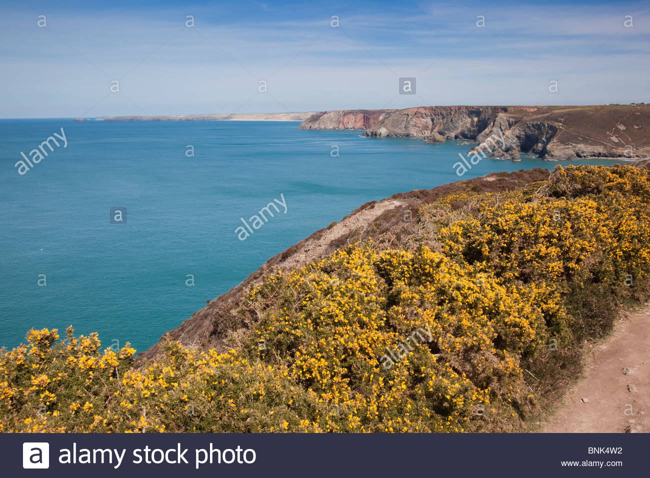 St Agnes Head with gorse; looking towards Perranporth; Cornwall - Stock Image