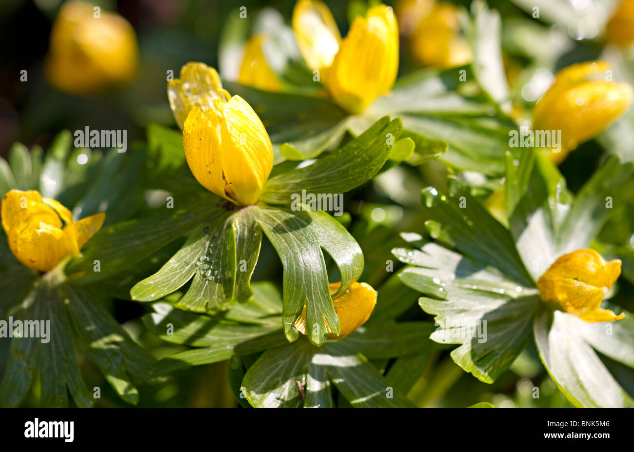 Aconite Flowers Stock Photos Aconite Flowers Stock Images Alamy