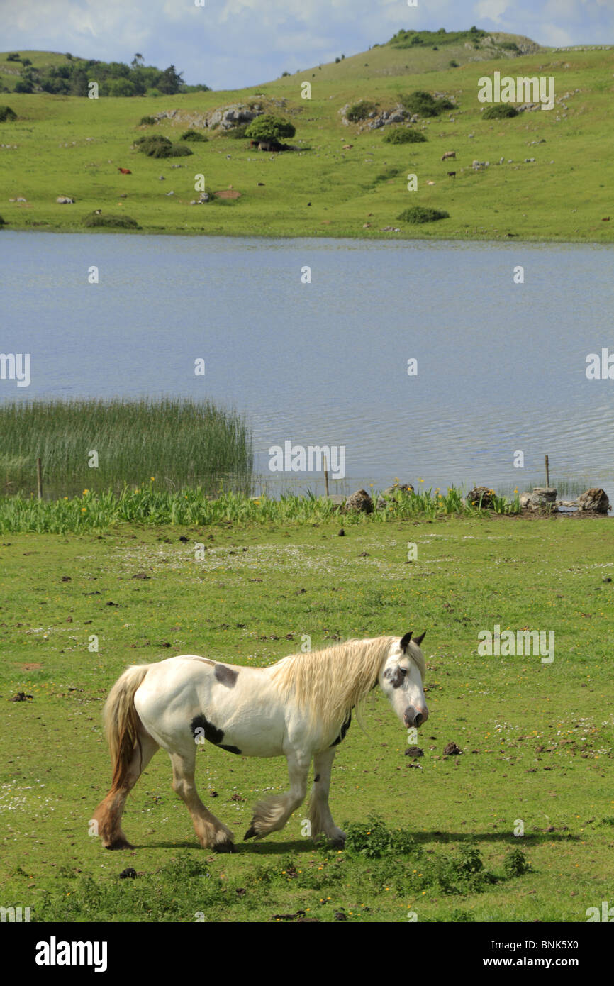 A lone horse surveys the scene at Lough Gur, Co. Limerick, Republic of Ireland. - Stock Image
